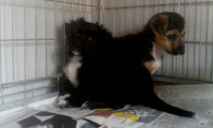 Fly (schwarz) und Fendy (tricolor), zwei noch sehr junge Welpenmädchen, die kein Zuhause auf Sardinien gefunden haben.
