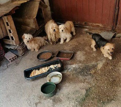Vier verwahrloste Hunde